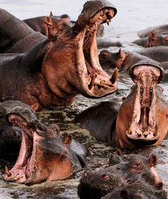Hippopotamus, Okavango Delta, Botswana