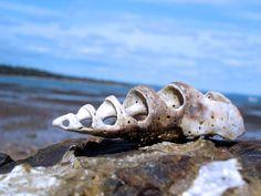 Мушлі - заставки на робочий стіл: http://wallpapic.com.ua/ocean-and-sea/shells/wallpaper-10151