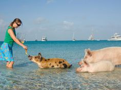 Pigs still can't fly, but there is a group of swine that loves to swim in part of the uninhabited Big Major Cay, known as Pig Beach.