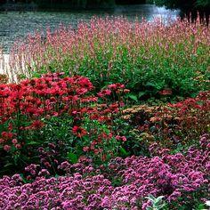 echinacea purpurea 'Rubinstern' et persicaria 'rosea' au jardin Pensthorpe, UK. Création Piet Oudolf.