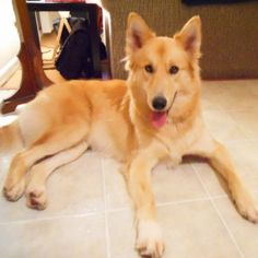 Awww! She's gorgeous!! :) German Shepard with Golden Retriever mix #dogs #pets
