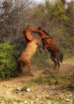 Salt River wild horses, I have never seen so many wild, running free horses as I have here, 20 minutes from our home.