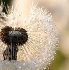 Dew on a dandelion... Pretty : )