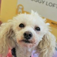 Cute Muttville mutt: Blossom 2838 (Miniature poodle mix | Female | Size: small (6-20 lbs))