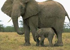 Elephants are awesome!!! They travel in groups and look to the oldest female for everything. They have horrible eye sight and they are terribly protective of their young. I can understand why since they have an extremely long pregnancy.