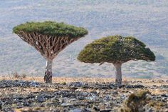 Socotra: The Island of Strange Trees! Socotra is a small archipelago of four islands in the Indian Ocean, near the Gulf of Aden. Situated some 250 miles off the coast of Yemen, the largest member of the archipelago, also called Socotra, is home to some of the weirdest looking plants that are found nowhere else on the planet.