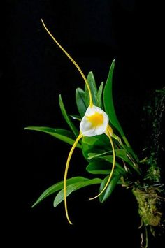 7 Beautful Pics Of Masdevallia ... see more - Top Foto