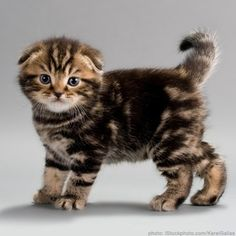 Scottish Fold! Candace.... I can't even believe it!! Lander needs one!!! XOXO