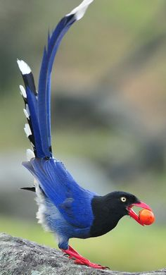 The Red-billed Blue Magpie is a stunning bird but *not* a good neighbor. It takes a wide range of food, such as invertebrates, small animals, fruit and seeds. However unfortunately it robs nests of eggs and also small chicks!