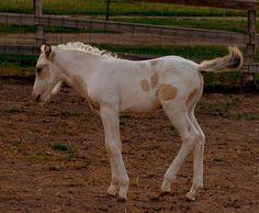 Molly Montana's Good Stories & Photos Blog: Lakna's Liberty - Choctaw Pony