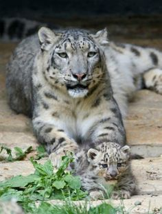snow leopard TY Marie King