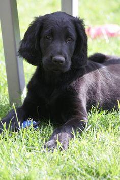 Manus ~ Flat-Coated Retriever Pup ~ Classic Look