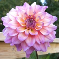 "Dahlia 'Bahama Mama' - Blooms are pale pink with a ring of yellow towards the center. The 6"" blooms make a perfect cut flower. Height 4'."