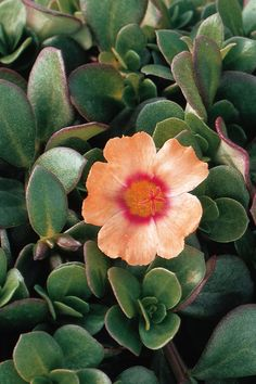 Portulaca Mojave Tangerine My favorite annual since it is drought tolerant and loves heat and sun.