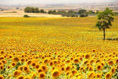 アンダルシア郊外のひまわり畑(Sunflower field of Andalusia suburbs)