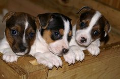 Jack Russells I would take the middle one that looked like my Scooter