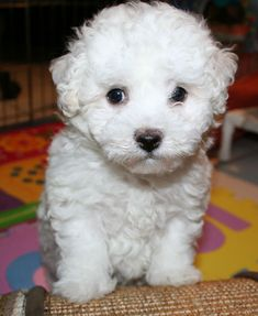 bichon frise - good hypoallergenic dog. Need to make sure you set clear boundaries, good for apartments