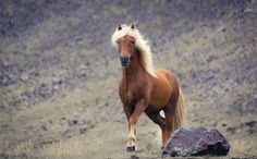 Icelandic Horse - I met this majestic Icelandic blonde near the small town Djupivogur in southeast Iceland.