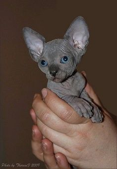 "blue sphynx kitten.... i think i can now call myself a ""cat"" person... if you can even call them that =} new goal... OWN ONE!"