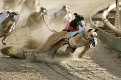 As more greyhound racing tracks close, adoptive homes are needed ...
