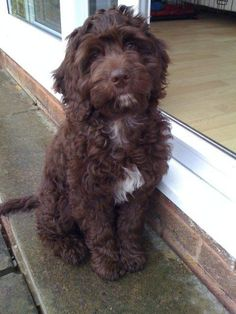 It's settled. If the day comes and I want a puppy I'm getting a chocolate cockapoo