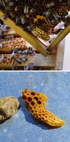 Beekeepers check their hives every ten days during swarming season to ensure that Queen Cells aren't being built. If they're found then decisive action needs to be taken #beekeeping