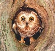 Northern Saw-whet Owl - Art Wolfe) Beautiful Owl, Animals Beautiful, Cute Animals, Owl Photos, Owl Pictures, Owl Bird, Pet Birds, Saw Whet Owl, Nocturnal Birds