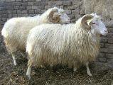 Cikta sheep