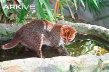 "Flat-headed cat Prionailurus planiceps ""Slippery food"""