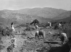 080106_113104_a (Jacques Godeau) Tags: bw girl algeria sheep dromedary nb atlas fille moutons algérie dromadaire shepherdess bergère