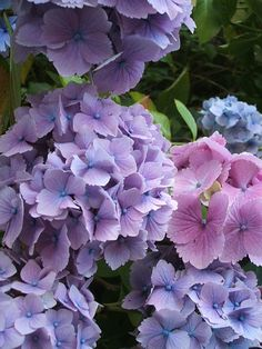 Hydrangeas - the first flowers I remember being captivated by as a child!  I love hydrangeas!!B
