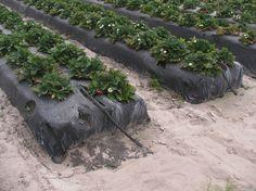 Высокие грядки клубники под агроволокном
