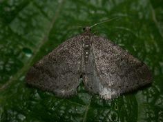 The Moths of Suffolk - 1959 Sloe Carpet, Aleucis distinctata, (Herrich-Schäffer, Moth, Butterflies, British, Carpet, Beauty, Butterfly, Blankets, Beauty Illustration, Rug