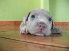 I love Pitbulls. Cute Puppies, Cute Dogs, Dogs And Puppies, Doggies, Animals And Pets, Baby Animals, Cute Animals, Wild Animals, Beautiful Dogs