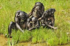 Chimps and bonobos interbred and exchanged genes. They are considered different species within the same genus. The two species split sometime between and million years ago, around the same time that the Congo River system formed. Congo River, Lemur, Orangutan, Primates, Two By Two, Lion Sculpture, Animals, Animales, Primate