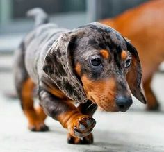 The Diverse Dachshund Breed - Champion Dogs Dapple Dachshund Puppy, Dachshund Funny, Dachshund Breed, Dachshund Love, Daschund, Dachshund Clothes, Dachshund Gifts, Animals Beautiful, Cute Animals