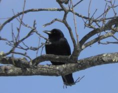 """Check out my blog post, """"I heart Crows"""" for more pictures like this. :)  http://www.traciyork.com/ff-i-heart-crows/"""