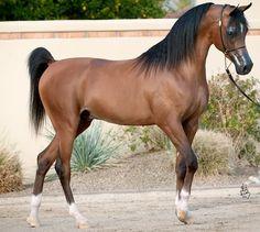 Persia BAI 2009 Bay Egyptian Related Arabian Stallion Sire: WA Atlantis+/. Dam: *Ghalia - 2013 All Nations Cup Res Champion 4YO Colts