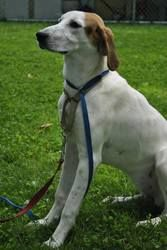 Beddy is an adoptable Hound Dog in Sylva, NC. For more information please call the shelter at (828) 586-6138. (Click here For directions from your location, and call for complete directions). The $70 ...