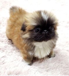 How To Potty Train A Pekingese Puppy. Pekingese House Training Tips. Share this Pin with anyone . Yorkies, Pekingese Puppies, Teacup Puppies, Cute Puppies, Cute Dogs, Dogs And Puppies, Poodle Puppies, Shih Tzus, Fu Dog