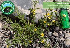 Flora de Sierra Picachos | Asociación Ecológica de la Sierra Picachos en Nuevo León
