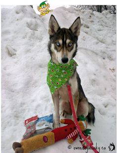 My Siberian Husky Lexus posing with her Pet Subscription box. The Canadian Bowzer Box!  http://www.ownedbyahusky.ca/2014/12/holiday-pet-subscription-box.html