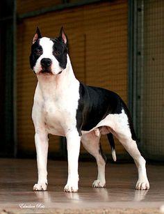 Canil American Diamond - Excelência na criação de American Staffordshire Terrier - Amstaff no Tocantins/Brasil