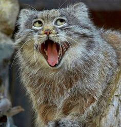 Gatos Pallas: los gatos más perezosos salvajes del planeta