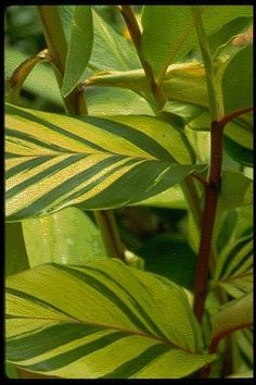 Alpinia Sunspice Veriegated shell ginger, live plant