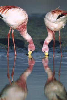 (A través de la Puna Flamingo Alimentación En Laguna de Tui De Roy)