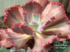 Echeverias, the Loveliest of Succulents   Succulents and Succulent Garden Design   Debra Lee Baldwin