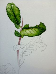 Botanical illustration quince watercolour detailing by Lizzie Harper