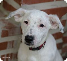 Loki - Collie/Dalmatian mix - Male - approx. 1-2 yrs old - Baton Rouge, LA - Friends of the Animals Baton Rouge - http://www.friendsoftheanimalsbr.org/adopt.html - https://www.facebook.com/pages/Friends-of-the-Animals-Baton-Rouge/265116452388 - http://www.adoptapet.com/pet/10558701-baton-rouge-louisiana-collie-mix