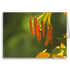 Humboldt Lily Stamens Greeting Cards from Florals by Fred #zazzle #gift